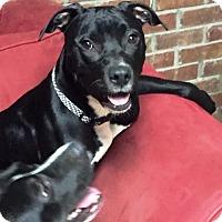 Adopt A Pet :: Sapphire - Goodlettsville, TN
