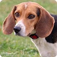 Beagle Dog for adoption in Bedford, Virginia - Thelma