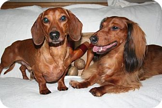 Dachshund Dog for adoption in Sioux Falls, South Dakota - Carlisle and Paxton