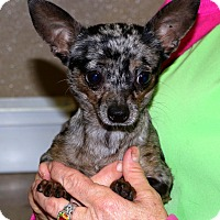 Chihuahua Mix Dog for adoption in Glastonbury, Connecticut - Frisco~5 lbs~