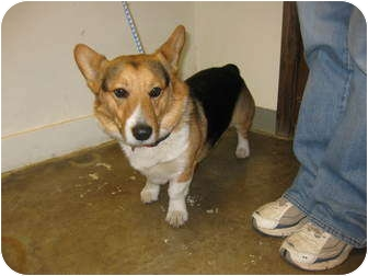 Welsh Corgi Dog for adoption in Inola, Oklahoma - Wilfred