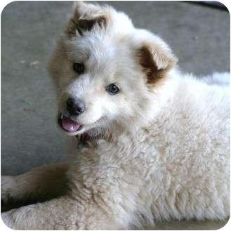 Husky/American Eskimo Dog Mix Puppy for adoption in Santa Ana, California - Kisses