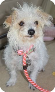 Poodle (Miniature)/Maltese Mix Dog for adoption in Norwalk, Connecticut - Francesca - adoption pending