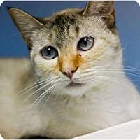 Siamese Cat for adoption in Dallas, Texas - NADINE