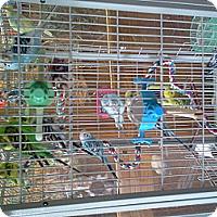 Adopt A Pet :: Parakeets - Independence, KY