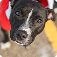 Adopt A Pet :: Widget - Villa Park, IL