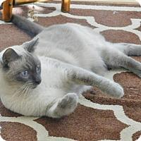 Adopt A Pet :: Shylo - Davis, CA