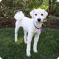 Adopt A Pet :: TROY - Newport Beach, CA
