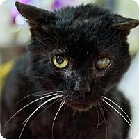 Adopt A Pet :: Mr. Black - Wayne, PA