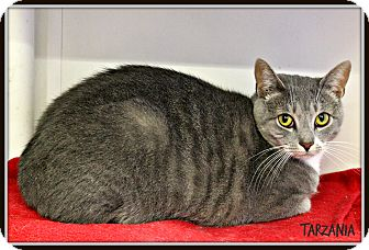 Domestic Shorthair Cat for adoption in Dunkirk, New York - Tarzania