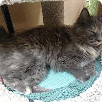 Adopt A Pet :: Grisabella - Salem, NH