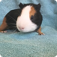 Guinea Pig for adoption in Imperial Beach, California - Calico