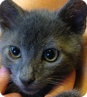 Russian Blue Kitten for adoption in Spartanburg, South Carolina - Joshua