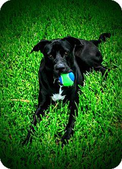 Labrador Retriever/American Staffordshire Terrier Mix Puppy for adoption in Miami, Florida - Negan