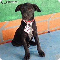 Labrador Retriever Mix Puppy for adoption in San Diego, California - Cosmo