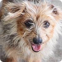 Adopt A Pet :: Tiffany - Helotes, TX