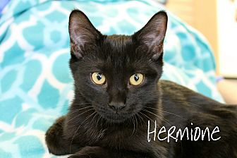Domestic Shorthair Kitten for adoption in Wichita Falls, Texas - Hermione