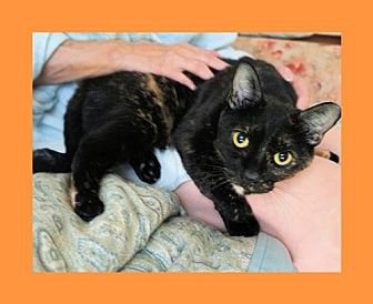 Domestic Shorthair Cat for adoption in Euless, Texas - May - Courtesy Post