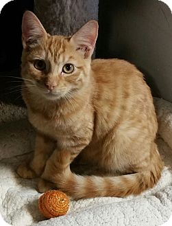 American Shorthair Cat for adoption in Los Angeles, California - Kit