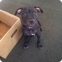 Adopt A Pet :: Dozer - Santa Barbara, CA