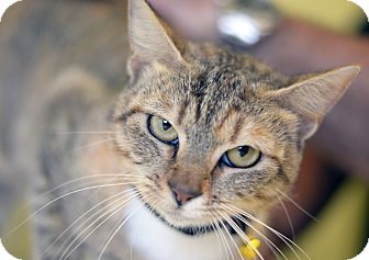 Domestic Shorthair Cat for adoption in LAFAYETTE, Louisiana - SHIITAKE