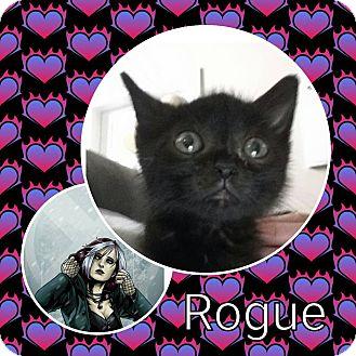 Domestic Shorthair Kitten for adoption in joliet, Illinois - Rogue