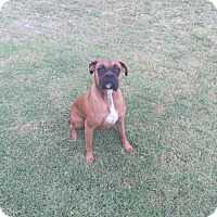 Boxer Dog for adoption in Santa Monica, California - Tyson