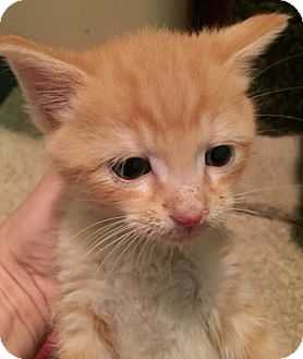 Domestic Shorthair Kitten for adoption in Herndon, Virginia - Stan