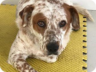 Australian Cattle Dog/Pointer Mix Dog for adoption in Fort Collins, Colorado - Copper (DENVER)