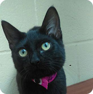 Domestic Shorthair Cat for adoption in Chula Vista, California - Daisy