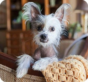 Chinese Crested Dog for adoption in Matthews, North Carolina - Lulu