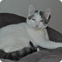 Adopt A Pet :: Mozart - O'Fallon, MO
