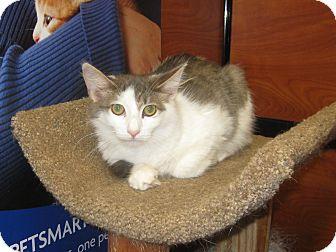 Domestic Longhair Cat for adoption in Farmingdale, New York - Duke