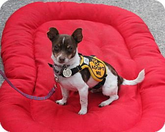 Jack Russell Terrier/Chihuahua Mix Dog for adoption in Santa Monica, California - Java