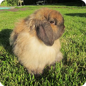 American Fuzzy Lop for adoption in Seattle c/o Kingston 98346/ Washington State, Washington - Emery and (Katalia)