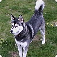 Adopt A Pet :: Bandit - Rigaud, QC
