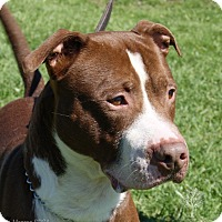 Irish Setter/Pit Bull Terrier Mix Dog for adoption in Dundee, Michigan - Thunder