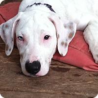 Adopt A Pet :: Matisse - Austin, TX