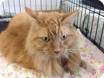 Domestic Shorthair Cat for adoption in Cleburne, Texas - Morris