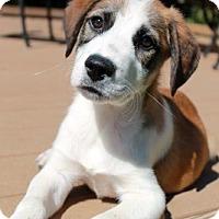 Adopt A Pet :: William (ETAA) - Brattleboro, VT