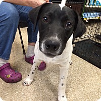 Labrador Retriever/Border Collie Mix Puppy for adoption in Schertz, Texas - Speckles