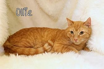Domestic Shorthair Cat for adoption in knoxville, Tennessee - Ollie male $45