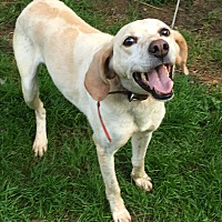Brittany/Hound (Unknown Type) Mix Dog for adoption in Staunton, Virginia - Hunter