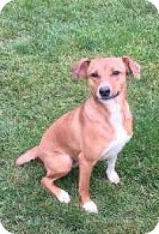 Beagle Mix Dog for adoption in Pompton Lakes, New Jersey - MILA
