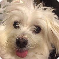 Adopt A Pet :: Maya - Surrey, BC