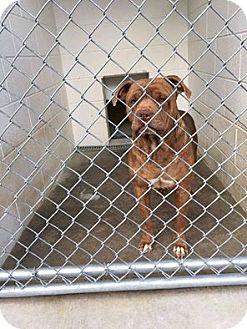Dogue de Bordeaux Mix Dog for adoption in Newport, Kentucky - Remington
