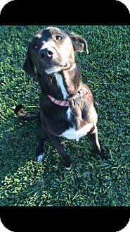 Labrador Retriever/German Shepherd Dog Mix Dog for adoption in Crowley, Louisiana - Cain