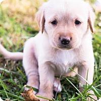 Adopt A Pet :: Charlotte Bronte - Hanover, PA