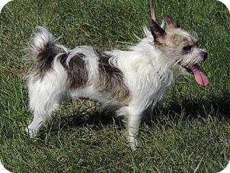 Yorkie, Yorkshire Terrier/Standard Schnauzer Mix Dog for adoption in Spring Valley, New York - LITTLE LOLA