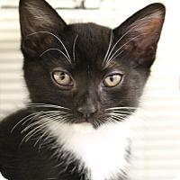 Adopt A Pet :: Cogsworth - Sarasota, FL